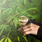 Threats to High Yielding Cannabis Plants